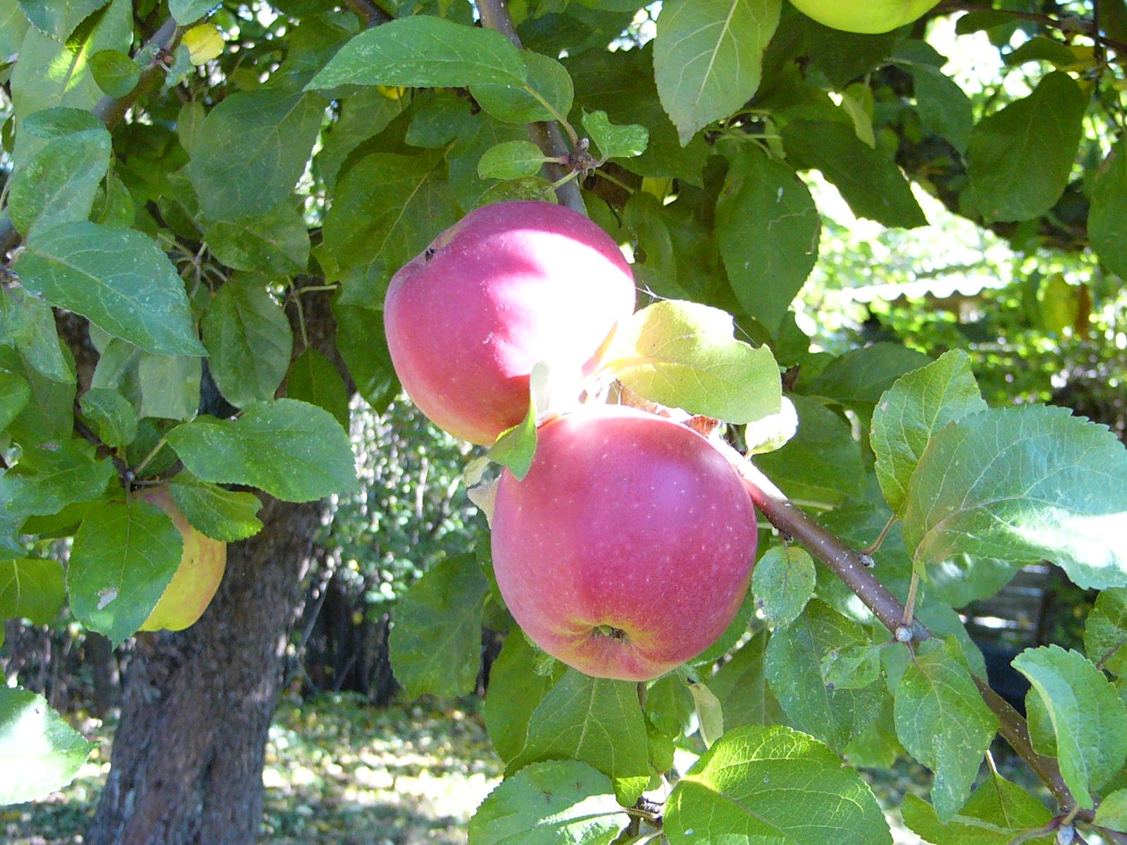 Mortens Æble